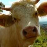 Kabinet wil met speciaal veevoer de bouw gaan vlot trekken