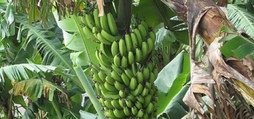 338950708_237cc61565_bananen-republiek