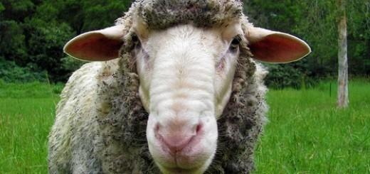 6972669143_0a1ab008b6_sheeple