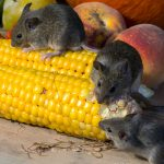 EU staat stiekem import van voor de gezondheid schadelijke mais toe