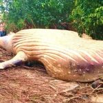 Bizar: 11 meter lange walvis gevonden middenin de Braziliaanse jungle