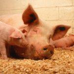 Kabinet Rutte III gaat het volk uithongeren: miljoenen voor inkrimping veestapel