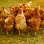 Op naar een kip verbod? Elke kip in Nederland moet worden geregistreerd, moet van EU