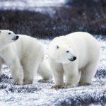 IJsberen ontmaskeren de klimaat-hysterici als klimaat-leugenaars