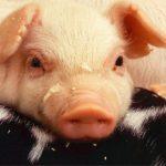 Stukje vlees: Het ene subsidiepotje bestrijdt het andere en nationaal beleid staat tegenover EU beleid