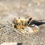 EU zet deur open voor nog meer bijensterfte door pesticiden
