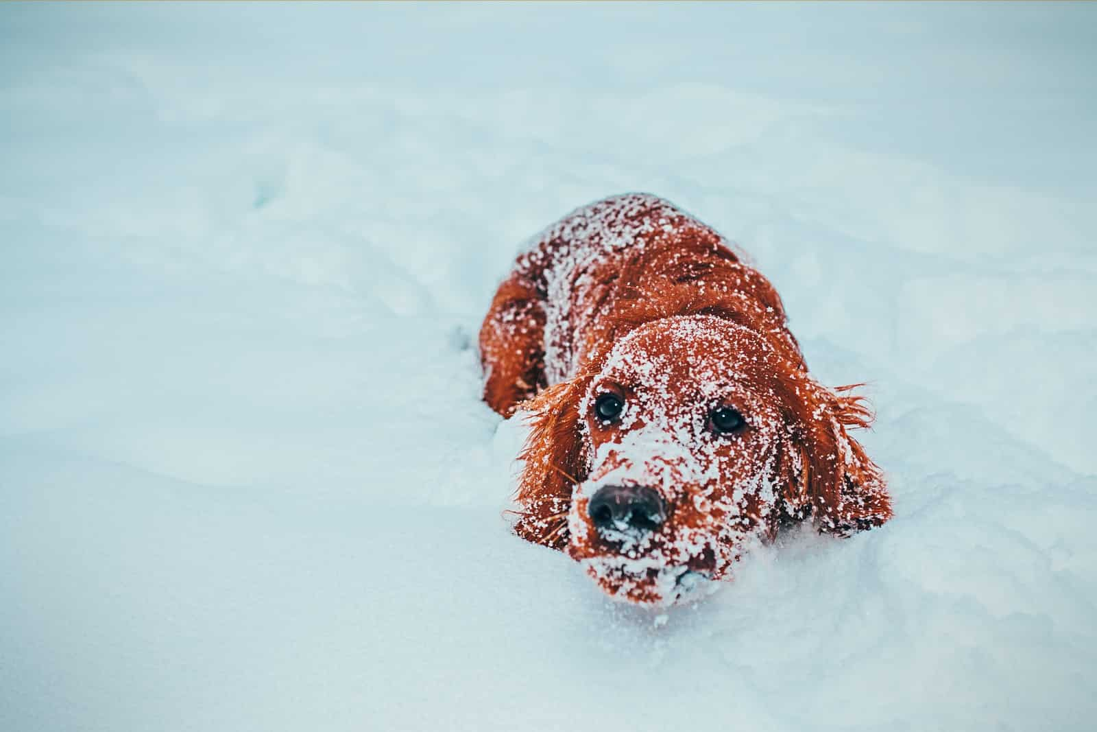 long-coated brown dog on snow